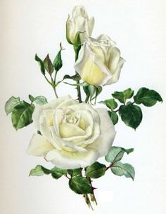 white roses - bouquet for you dear sweet lady. rest but we are all here waiting for Mia to give us knews. Please wake up Donna, Love, GG