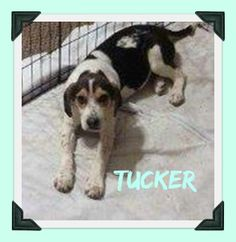 URGENT! SHELTER FULL! --TUCKER HOUND--Hound • Young • Male • Large. Lawrence County Dog Shelter Ironton, OH. Available for a limited time from the Lawrence County Dog Pound, 1302 Adams Lane Ironton, OH 45638. Please call the dog warden at 740-533-1736 for further details. Unfortunately the pound does not have long distance calling so please call back if we do not return your call. The pound is open Monday-Friday, 10-4, except holidays. The adoption fee is $30 for Dogs and puppies.