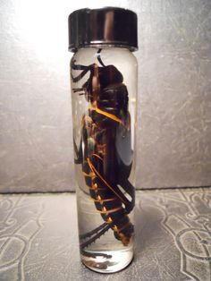 Huge Locust Grasshopper in a Jar Wet Specimen by TheCuriositeer, $22.00