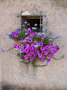 Alsace Blue scaveola and purple wave petunias. Simple and eye catching Blue scaveola and purple wave petunias. Simple and eye catchingBlue scaveola and purple wave petunias. Simple and eye catching Window Box Flowers, Window Boxes, Flower Boxes, Beautiful Gardens, Beautiful Flowers, Plantas Indoor, Garden Windows, Windows And Doors, Garden Inspiration