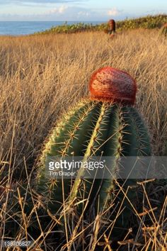 Stock Photo : Puerto Rico, Guanica dry forest, Melocactus intortus (Melon cactus), close-up on single cactus in a field