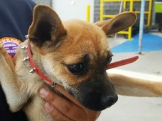 TO BE DESTROYED 05/11/17 ***REASON: SPACE*** ◀️35055429▶️ 1 years old • Chihuahua • Male • Intake Date 04/09/17 • #35055429 • FOR MORE PICS, VIDEOS & INFO: http://www.dogsindanger.com/dog/1491778587914