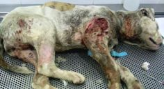 Demand crackdown on dog fighting in Alzira, Spain!  PLEASE SIGN : http://www.yousignanimals.org/Demand-crackdown-on-dog-fighting-in-Alzira-Spain-t-517