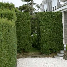 This is all the info we needed about the dern hedge. This thing is killing me. As are the volunteers. Wish I had read this ages ago. Garden Hedges, Garden Trellis, Garden Gates, Country Landscaping, Yard Landscaping, Stockade Fence, Privet Hedge, Concrete Path, Living Fence