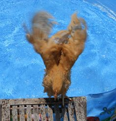 1000 images about swimming chickens on pinterest swim for Swimming chicken
