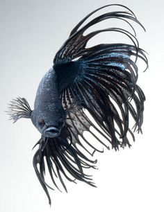 Beautiful Black Orchid Crowntail