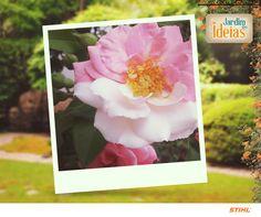 Delicada e romântica, a Camélia é apenas uma das belas flores do jardim da Talicia Francisco da Silva.