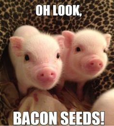 Funny Memes - [Oh Look, Bacon Seeds...]
