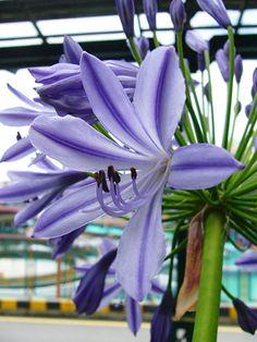 Blue Amaryllis Belladonna