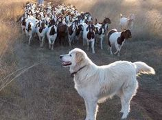 goat predator management by Maremma dogs.  #goatvet recommends Australia's CRC for feral pest animals guide on the use of guardian dogs