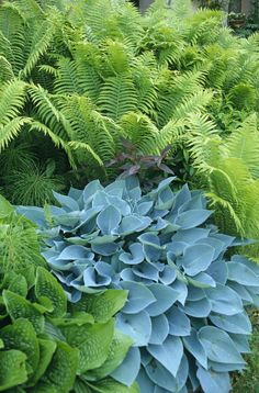 No flowers, but plenty of texture: blue hosta, green hosta, fern.