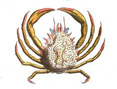 Le #crabe Maja ou araignée de mer a été baptisé ainsi par Linné car il est très abondant au mois de mai et maja vient de majo du latin « mai » #numelyo #aquatique #crustacé