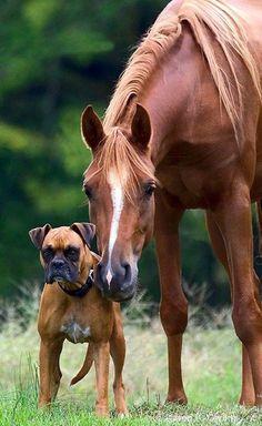 Amitiés Insolites - Un Cheval et un Boxer