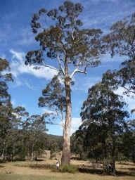 The National Register Of Big Trees is an integrated list of Australian native [indigenous] trees, and naturalised [exotics/alien] trees. Australian Flowers, Australian Plants, Giant Tree, Big Tree, Eucalyptus Tree, Native Plants, Wild Flowers, Planting Flowers, Flora