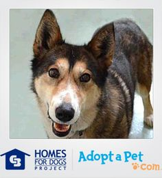"""Jordan, a gorgeous Siberian husky mix from Denver, is described by volunteers as """"the sweetest angel."""" She enjoys walks on her leash & is looking for a forever family who will spend lots of time with her and love her unconditionally!"""
