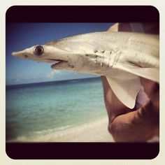 Bonnet Head shark, Boca Grande beach, 2010.