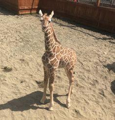 Absolutely PRICELESS 💖 Zoo Animals, Animals And Pets, Giraffe Photos, Giraffe Family, Super Cute Animals, Zebras, Funny Faces, Spirit Animal, Fur Babies