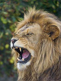 Louis starting to yawn by Tambako the Jaguar on Flickr