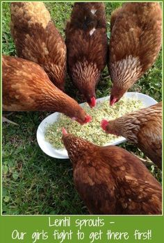 sprouting seeds mean happy chickens. Why do sprouting seeds mean happy chickens? We spill the beans!Why do sprouting seeds mean happy chickens? We spill the beans! Chicken Garden, Chicken Life, Chicken Runs, Chicken Coops, Chicken Houses, Chicken Feeders, Chickens And Roosters, Pet Chickens, Winter Chickens
