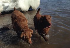 Chesapeake Bay Retriever Scores A Perfect 10 In And Out Of Water