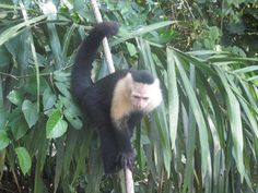 White faced monkey in Panama Canal