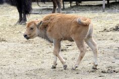 The Bronx Zoo Thursday announced the birth of the (get ready) first genetically pure American bison calf produced by embryo transfer! Baby Bison, Fort Worth Zoo, Zoo Photos, Bronx Zoo, American Bison, Water Buffalo, Rhinoceros, Cattle, Farm Animals