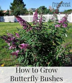 How to Grow Butterfly Bushes - Use these tips for growing and caring for your Butterfly Bush. It is an easy keeper and requires little water and can survive both hot summers and cold winters.