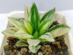 Haworthia retusa variegated