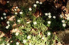 Berki szellőrózsa (Anemone nemorosa, Ranunculaceae) (Turcsányi Gábor felvétele)