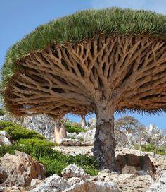 Dragon's blood tree in Socotra, Yemen