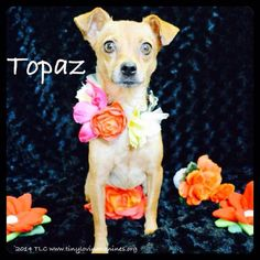 Topaz!! Terrier X • Adult • Female • Small. TLC (Tiny Loving Canines); Simi Valley, CA. Stunning girl w/ beautiful golden eyes. I was rescued w/ my puppies who are finding homes of their own! Now, I am ready to be someone's baby too! I have a very sweet disposition, but am also very timid until I get to know you. I would do well in a quiet, lower energy home where I can really come out of my shell! I'm looking for a coach potato or loving senior to spend my yrs w/.