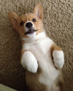 Corgis....the only small dogs I deem appropriate to own.