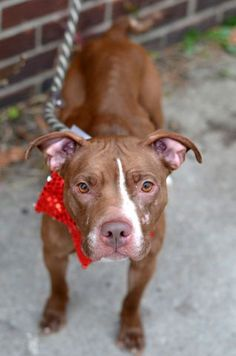 TO BE DESTROYED 12/07/15  Brooklyn Center   My name is LOLA. My Animal ID # is A1058600. I am a female brown and white am pit bull ter mix. The shelter thinks I am about 2 YEARS old.  I came in the shelter as a STRAY on 11/21/2015 from NY 11373, owner surrender reason stated was STRAY.