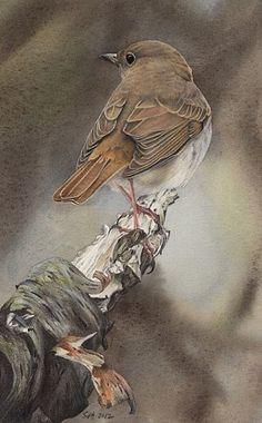 Hermit Thrush by Sue Adair