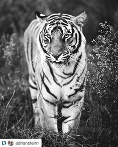 LOVELY POST BY @adriansteirn ・・・ Conservation comes in all sorts of platforms and initiatives. I have just finished reading the background on the 200 large felines confiscated from circuses and abusive relationships on the ground in Mexico by the government. These animals have been offered a better life by Eddie and the team at @blackjaguarwhitetiger. He is the first to say that these animals would be better uncaged and wild however the hybridization of these animals in captivity over the…