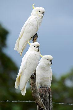 Sulphur Crested Cockatoos At Feeding Time. by Ralph de Zilva on Rare Birds, Exotic Birds, Amazon Birds, Animals And Pets, Cute Animals, Australian Parrots, World Birds, Australia Animals, Funny Birds