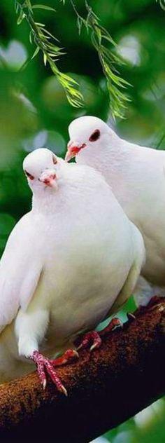white doves---End pigeon cruelty! Pretty Birds, Love Birds, Beautiful Birds, Animals Beautiful, Cute Animals, Dove Release, White Doves, Mundo Animal, All Gods Creatures