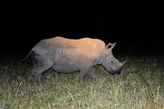 Young White Rhino taken on a guided night drive in the Sabi Sands Reserve in the Greater Kruger National Park Lion Images, Night Photography, Wildlife Photography, Kruger National Park, National Parks, Kenya Travel, Male Lion, Nocturnal Animals