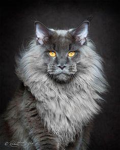 Fotógrafo captura a beleza dos gatos Maine Coon