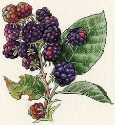 Naturalist Illustrations by Lucia Guarnotta, via Behance