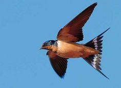 Golondrina. Aerodinámica y acrobática, de color negro, con reflejos azules metálicos y blancos crema. Rojo por la frente y la garganta, y luciendo collar negro. De alas negras, boca ancha y pico corto, la golondrina común anuncia siempre con su vuelo la llegada de la primavera.