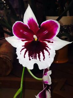 Akatsuke Orchid Farms, Hilo, Hawaii