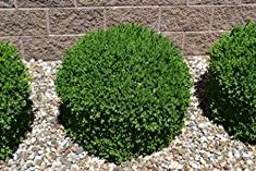 Velvet Boxwood is a low maintenance evergreen plant. Green Velvet Boxwood is a Low Maintenance Broadleaf Evergreen Plant.Green Velvet Boxwood is a Low Maintenance Broadleaf Evergreen Plant. Boxwood Landscaping, Outdoor Landscaping, Front Yard Landscaping, Outdoor Gardens, Landscaping Ideas, Landscaping Software, Landscaping Contractors, Luxury Landscaping, Landscaping Company