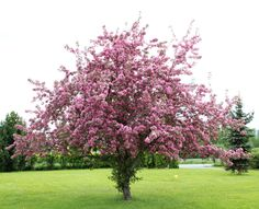 Siruja sieltä, siruja täältä: Koristeomenapuu