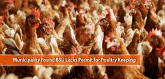 The foul smell in Benguet State University has called the attention of the authorities to investigate and recommend ways to contain the smell that bothers the Poultry, Chicken, Backyard Chickens, Cubs
