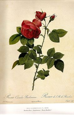 REDOUTE ROSES Print 2007 Color Plate 195 196 Bourbon Rose in Red and Boursault…