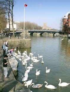 Feeding the swans on the river Avon in central Bristol (Welsh Back).