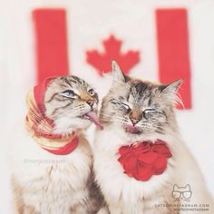 """From @monicasisson: """"Alice and Finnegan are showing their Canadian colours, sending out sandpapers kisses to all Canadians. Happy Canada Day!"""" #catsofinstagram"""