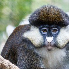 The red-tailed monkey, black-cheeked white-nosed monkey, red-tailed guenon, redtail monkey, or Schmidt's guenon (Cercopithecus ascanius)
