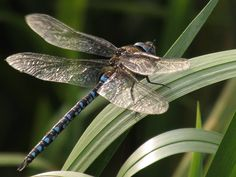 Thanks to Valerie Palmer Avison who photographed this Dragonfly at Clumber Park on 21 September